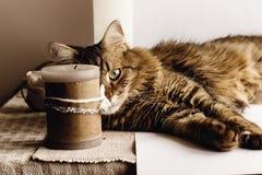 Gato lindo que se sienta en la tabla que mira con el ojo interesante, en la tabla fotos de archivo libres de regalías