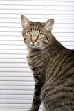 Gato listrado Imagem de Stock