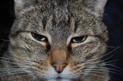 Gato listrado Fotos de Stock Royalty Free