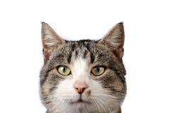 Gato listrado no fundo branco Fotografia de Stock Royalty Free