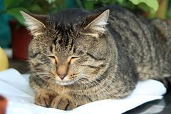 Gato listrado que encontra-se em um descanso branco e que é vesgo com prazer fotografia de stock royalty free