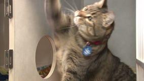 Gato listrado que joga com corda video estoque