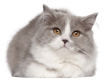 Gato Longhair britânico, 6 meses velho, encontrando-se Fotos de Stock