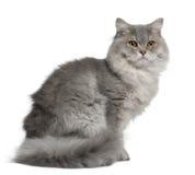 Gato Longhair britânico, o 1 anos de idade, sentando-se Fotografia de Stock Royalty Free
