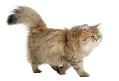 Gato Longhair britânico, 4 meses velho, andando Fotografia de Stock Royalty Free