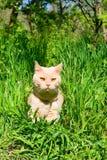 Gato lustroso-de cabelo inglês Imagem de Stock