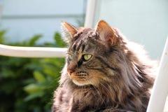Gato médio doméstico do cabelo com juba no verão Sun Fotografia de Stock