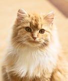 Gato macio Imagem de Stock Royalty Free