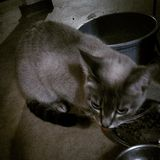 Gato macio cinzento pequeno Imagem de Stock