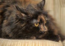 Gato macio da concha de tartaruga Imagem de Stock Royalty Free