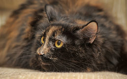 Gato macio da concha de tartaruga Imagens de Stock Royalty Free