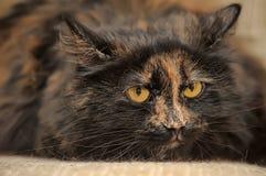 Gato macio da concha de tartaruga Fotografia de Stock