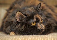 Gato macio da concha de tartaruga Fotos de Stock Royalty Free
