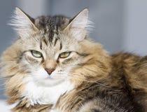 Gato macio da raça siberian na casa Fotos de Stock