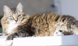 Gato macio da raça siberian na casa Imagem de Stock