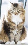 Gato macio da raça siberian na casa Foto de Stock