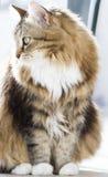 Gato macio da raça siberian na casa Imagem de Stock Royalty Free