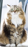 Gato macio da raça siberian na casa Foto de Stock Royalty Free