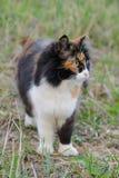 Gato macio de olhos verdes tricolor bonito na grama Fotos de Stock