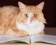 Gato macio do gengibre com os olhos amarelos que encontram-se no livro Imagem de Stock Royalty Free