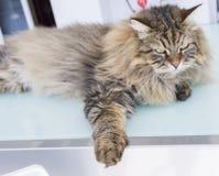Gato macio dos rebanhos animais, puro-sangue siberian Animal de estimação doméstico adorável imagem de stock