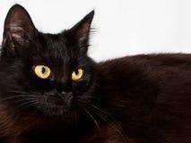 Gato macio preto Imagens de Stock Royalty Free