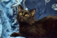 Gato macio preto com olhos amarelos imagem de stock