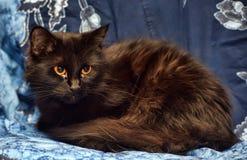 Gato macio preto com olhos amarelos fotografia de stock