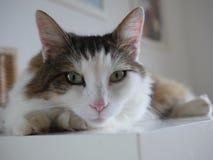 Gato macio que senta-se na tabela interna Fotos de Stock