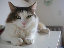 Gato macio que senta-se na tabela interna Fotografia de Stock Royalty Free