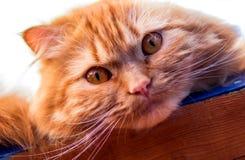 Gato macio vermelho com olhos alaranjados Fotos de Stock Royalty Free