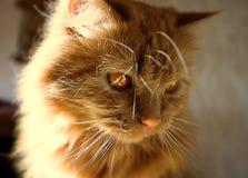Gato macio vermelho com olhos alaranjados Imagem de Stock