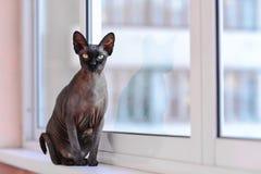Gato magro de Sphynx que senta-se em uma soleira Imagem de Stock Royalty Free