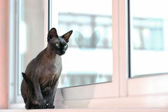 Gato magro de Sphynx que senta-se em uma soleira foto de stock