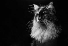 Gato majestoso em um fundo escuro imagens de stock royalty free