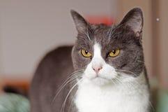 Gato mal-humorado com os olhos alaranjados da amêndoa foto de stock