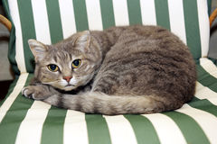 Gato mal-humorado que encontra-se na cadeira Foto de Stock Royalty Free