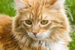 Gato malhado da abóbora Foto de Stock Royalty Free
