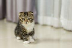 Gato malhado de Brown da dobra do Scottish Fotografia de Stock
