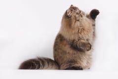 Gato malhado de Brown do persa Fotos de Stock Royalty Free