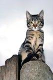Gato malhado de prata Fotos de Stock Royalty Free
