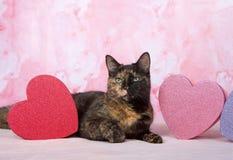 Gato malhado de Tortie com as caixas do ` d do tema do ` s do Valentim Foto de Stock