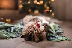 Gato malhado e gato feliz Estação 2017 do Natal, ano novo, feriados e celebração Imagens de Stock Royalty Free