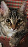 Gato malhado em uma mala de viagem do vintage Retrato do close-up com pata Imagens de Stock Royalty Free