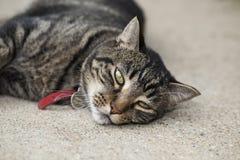 Gato malhado furado Fotografia de Stock Royalty Free