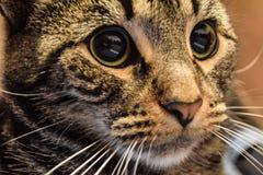Gato malhado louco Fotografia de Stock Royalty Free
