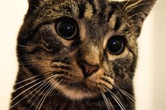 Gato malhado louco Imagem de Stock Royalty Free