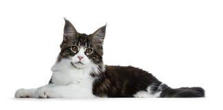Gato malhado marrom preto bonito com o gatinho branco do gato de Maine Coon que coloca as maneiras laterais, olhando em linha ret Imagens de Stock Royalty Free