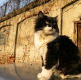 Gato malhado norueguês preto e branco da floresta Fotos de Stock