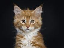 Gato malhado vermelho com o gato/gatinho brancos de Maine Coon Imagens de Stock Royalty Free